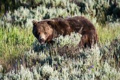 Grizzlybär in Sage Brush und in den Blumen Lizenzfreies Stockbild