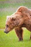 Grizzlybär-Schulter-Buckel Alaskas Brown stockbild