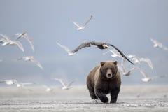 Grizzlybär, Seemöwen und Weißkopfseeadler stockbilder