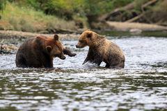 Grizzlybären. Grizzly bears in the Knight Inlet in Canada Royalty Free Stock Photo