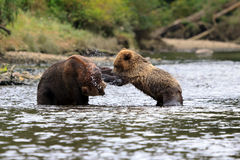 Grizzlybären. Grizzly bears in the Knight Inlet in Canada Royalty Free Stock Images