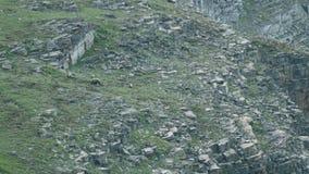 Grizzlybären reinigen auf dem hoher Gebirgsgebiet stock video