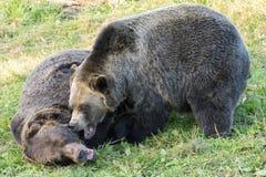 Grizzlybärkampf Stockbilder