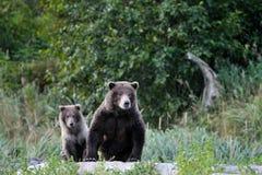 Grizzlybärmutter mit Jungem. Stockfotos