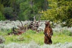 Grizzlybärmutterstellung Lizenzfreie Stockfotografie