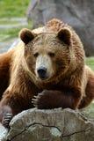 Grizzlybärnahaufnahme, die auf einem Klotz faulenzt Lizenzfreie Stockfotos