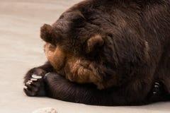 Grizzlybärschlaf Lizenzfreie Stockbilder