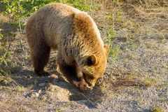 A grizzlybear digging for roots in the early spring Royalty Free Stock Images