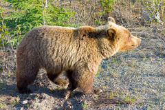 A grizzlybear digging for roots in the early spring Royalty Free Stock Image