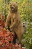 Grizzlybjörn Arkivbilder