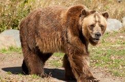 Grizzlybjörn Royaltyfri Bild