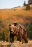 Grizzlybjörn som går i äng Arkivbild