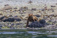 Grizzlybjörn som går på en havskust i glaciärfjärdnationalpark Arkivfoto