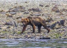 Grizzlybjörn som går på en havskust i glaciärfjärdnationalpark Royaltyfri Fotografi