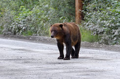 Grizzlybjörn Royaltyfri Fotografi
