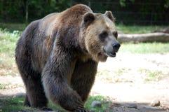 Grizzlybjörn Fotografering för Bildbyråer