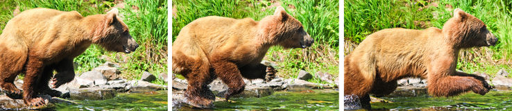 Grizzlybär Alaskas Brown, der Angriff springend fischt Stockbild