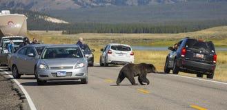 Grizzlybär-Kreuzung Lizenzfreies Stockfoto