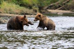 Grizzlybären Royalty Free Stock Photo