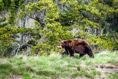 Grizzlyontmoeting 2 Stock Afbeelding