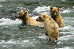 Grizzlys royalty-vrije stock afbeeldingen