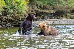 Grizzlys Stock Foto
