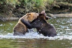 Grizzlys Стоковая Фотография RF