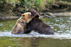 Grizzlys Стоковые Изображения RF