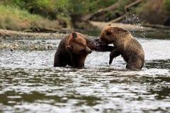 Grizzlys Στοκ Φωτογραφίες