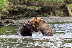 Grizzlys Στοκ Εικόνες