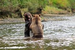 Grizzlys Immagine Stock Libera da Diritti