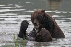 Grizzlys die in het water vechten Stock Foto