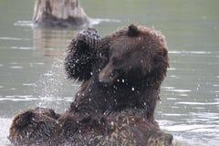 Grizzlys die in het water vechten Stock Afbeeldingen