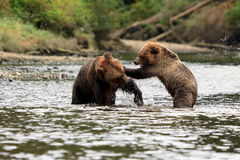 Grizzlys. Two Grizzlys are playing in the river Stock Image