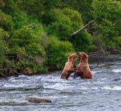 Grizzlys van Alaska Royalty-vrije Stock Foto's