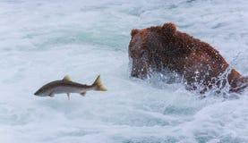 Grizzlys van Alaska Stock Afbeelding