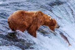 Grizzlys van Alaska Royalty-vrije Stock Afbeelding