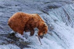 Grizzlys van Alaska Stock Afbeeldingen