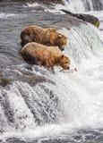 Grizzlys van Katmai NP royalty-vrije stock foto's