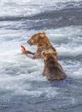 Grizzlys van Katmai NP stock fotografie