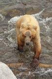 Grizzlys van Katmai NP stock afbeeldingen