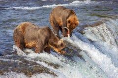Grizzlys van Katmai NP stock foto