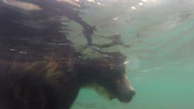 Grizzlys visserij stock footage