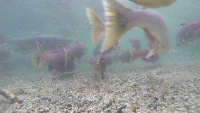 Grizzlys visserij stock videobeelden
