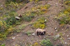Grizzlyzeug en Welpen in het Nationale Park van Denali stock foto