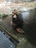 Grizzlyzitting in een pool met poten op de rand die op een onweer wachten om over te gaan stock foto