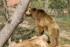 Grizzy bear. Grizzly bear over a tree in a zoo Royalty Free Stock Image