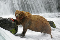 Grizzy Bear Breakfast. This image was taken at Katmai National Park, Alaska Stock Photography