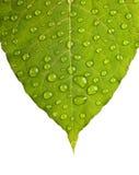 Grön bladmakro Arkivfoto