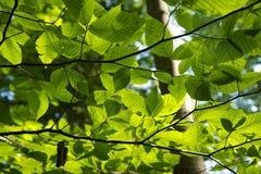 Grün-Blätter Lizenzfreies Stockbild